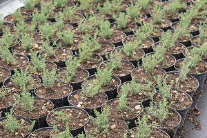 Thyme in pots