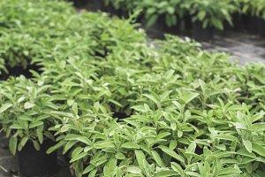 Sage spice plantations