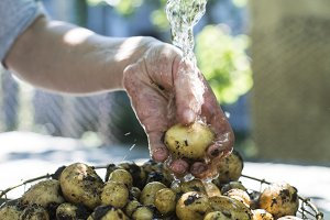Washing freshly harvested potatoes
