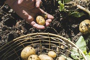 Woman harvest potatoes