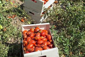 Picked tomatoes in crates