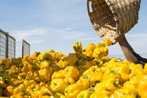 Picking yellow peppers