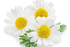 Chamomile or camomile flowers
