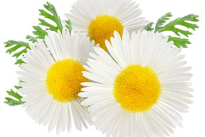 Chamomile with leaves on a white