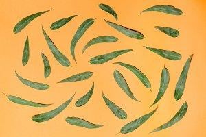 Green eucaliptus leaves pattern on orange background. Flat lay.