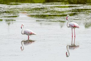 Two flamingos eating in the lagoon