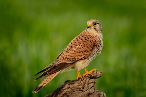Beautiful bird of prey