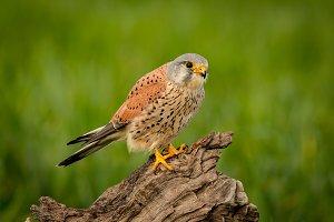 Beautiful bird of prey