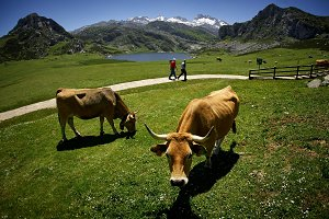 cows and mountains