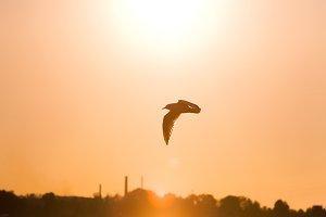 Seagull flying against the sky, sunlight