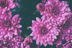 Macro on pink flowers