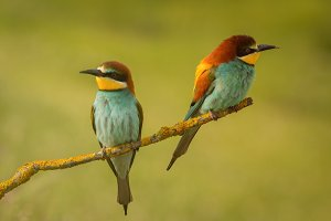 Beautiful bee-eater