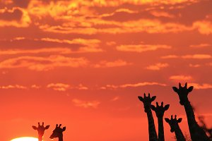 Giraffe Wonder - Sunset Bliss Beauty