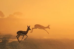 Springbok Antelope - The Golden Jump