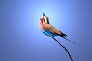 Lilac-breasted Roller - Supreme Blue