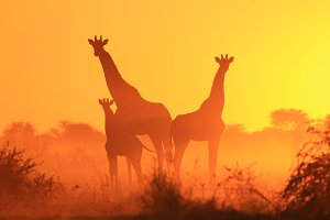 Giraffe Family - Bliss in Nature