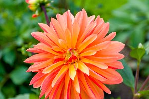 Beautiful red dahlia flower