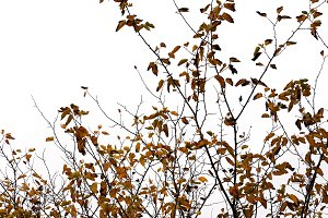 Brown Leaf Branches