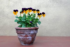 viola tricolor, pot with flowers
