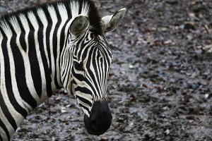 Zebra Looking at You