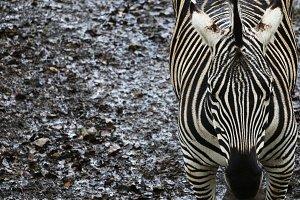 Zebra 6