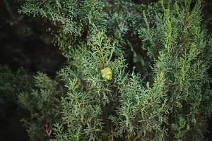 Cypress seed