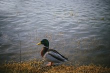 Duck on the lake