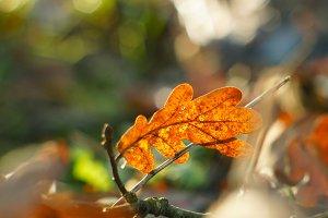autumn leaf in sunlight