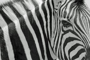 Zebra - Icon of Stripes and Lines
