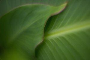 Foliage hosta
