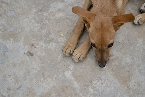 Brown stray dog lying down - aerial