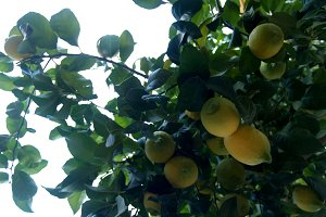 lemons on branch