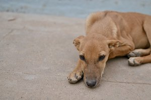 Brown dog lying on ground - portrait