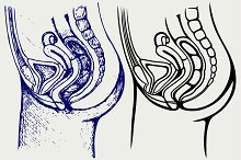 Female urinary system