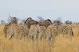 Zebra Love - Wildlife Kissing Fun