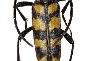 Four Banded Longhorn Beetle
