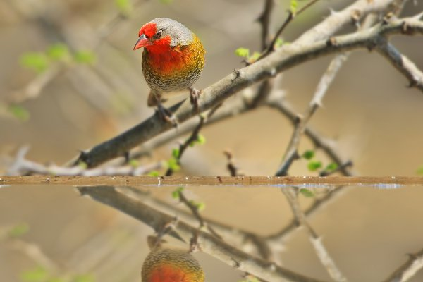 Melba Finch - Colorful Wild Birds