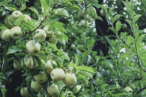 Wet Golden Delicious Apples