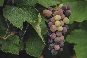 Colorful Grapes in the Vineyard