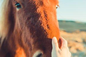 Fantactic Icelandic Horse