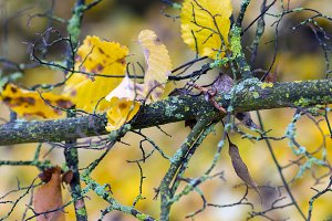 Tree branches covered with lichens