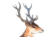 Watercolor deer's head with horns