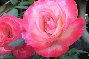 Hot Pink Garden Rose Flower