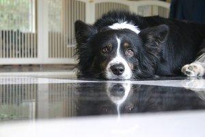 Wistful Dog