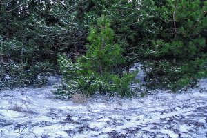 Pine tree. Winter forest.