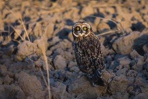 Short Eared Owl Lit by Sunlight