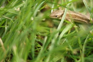 little lizard in the grass