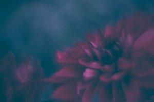 Flowers red dahlia