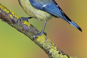 blue tit in a tree
