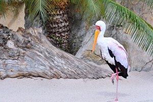 Mycteria ibis,